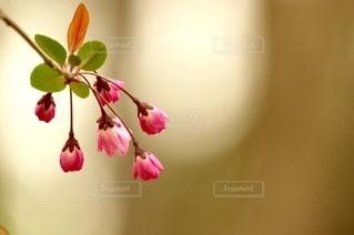 ピンクの花の蕾の写真・画像素材[2985166]