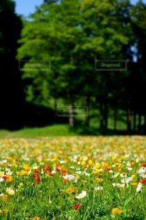 ポピーに花畑の写真・画像素材[2988824]