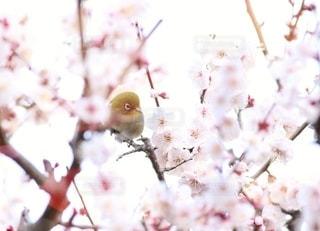 梅の花とメジロの写真・画像素材[3018958]