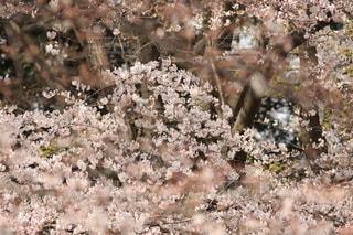 花,春,桜,ピンク,景色,サクラ,満開,草木