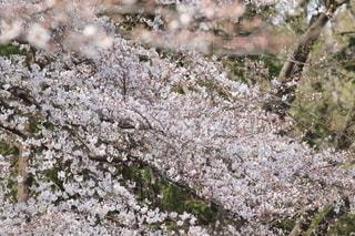 花,春,桜,屋外,サクラ,満開,草木