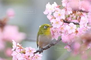 花,春,桜,鳥,屋外,ピンク,花見,サクラ,樹木,可愛い,野鳥,メジロ,小鳥,草木