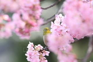花,春,桜,鳥,ピンク,花見,鮮やか,サクラ,野鳥,メジロ,小鳥,草木