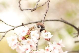 花,春,桜,動物,鳥,サクラ,雀,野鳥,草木,スズメ