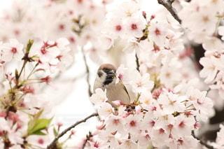 花,春,桜,動物,鳥,景色,サクラ,雀,野鳥,草木,スズメ