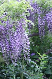 美しい藤の花の写真・画像素材[3039600]