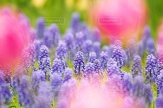 花壇でワイワイ咲くムスカリの写真・画像素材[3039835]