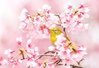 メジロもお花見の写真・画像素材[4250933]