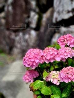 美しい紫陽花の写真・画像素材[4574406]