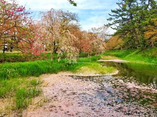 自然,空,公園,花,春,桜,ピンク,散歩,川,サクラ,草,樹木,弘前,枝垂れ桜,草木,さくら,桜絨毯