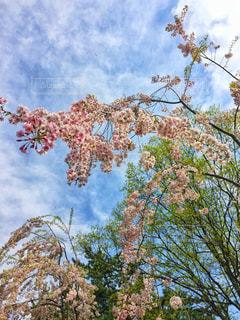 枝垂れ桜の写真・画像素材[3033492]
