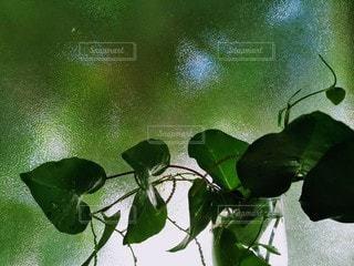 緑の観葉植物の写真・画像素材[2726077]