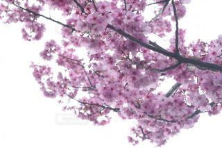 花,春,桜,桜並木,樹木,草木,桜の花,さくら,ブロッサム