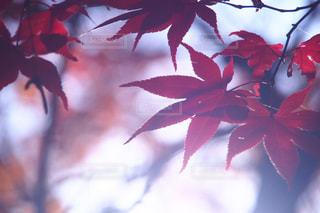 木の枝に赤い花を咲かせた植物の写真・画像素材[2511305]