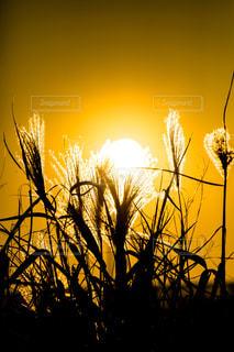 自然,風景,空,太陽,夕暮れ,シルエット,光,ススキ,草木