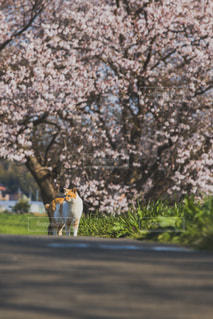 猫,自然,春,桜,動物,屋外,太陽,晴れ,木漏れ日,樹木,命