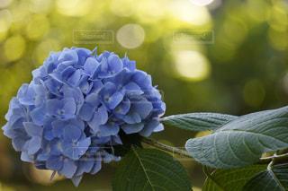 紫陽花,眩しい,キラキラ,ブルー,朝陽,梅雨,アジサイ,もこもこ
