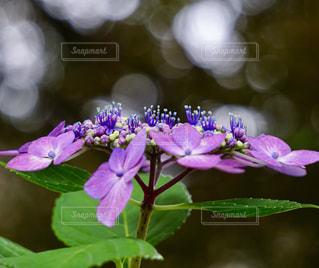 紫陽花,梅雨,額紫陽花,アジサイ,紫陽花の世界