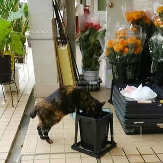 猫,花,動物,花瓶,ペット,床,人物,観葉植物,イタズラ,ネコ,いたずら,店先