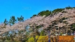 自然,空,花,春,桜,木,屋外,晴れ,青空,花見,満開,樹木,お花見,イベント,明るい,草木,さくら,ブロッサム