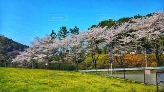 空,花,春,桜,木,屋外,ピンク,緑,草原,青空,青,花見,景色,満開,草,樹木,お花見,新緑,イベント,草木