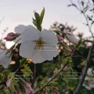 花,春,桜,木,屋外,白,かわいい,晴れ,夕焼け,夕方,花見,樹木,お花見,イベント,草木,さくら,ブロッサム