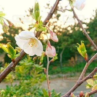 花,春,桜,木,屋外,緑,白,かわいい,晴れ,花見,花びら,樹木,お花見,イベント,草木,さくら,ブロッサム