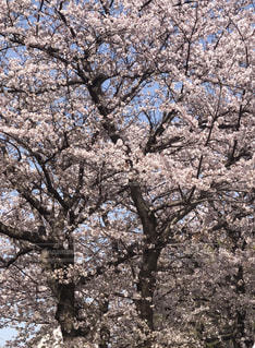 桜と空の写真・画像素材[1095606]