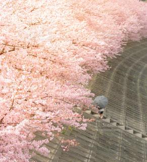 女性,子ども,家族,1人,花,春,桜,木,傘,階段,花見,お花見,イベント,河津桜,さくら