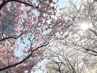桜,東京都,赤坂,赤坂サカス,赤坂Bizタワー