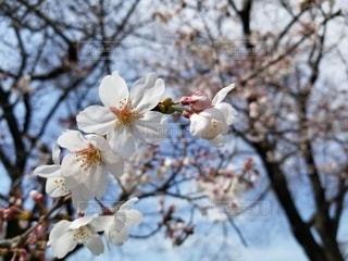 空,花,春,屋外,散歩,樹木,草木,桜の花,咲き始め,さくら,ブルーム,ブロッサム