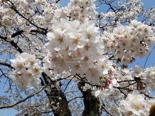 春,桜,花見,満開