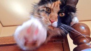 猫,かわいい,子猫,人物,カメラ目線,猫パンチ,キティ,パンチ,勢い