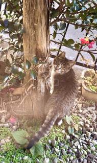 猫,動物,木,椿,ペット,人物,ネコ,サバトラ