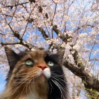 猫,春,桜,動物,ペット,お花見,人物,メインクーン,桜の木,ネコ