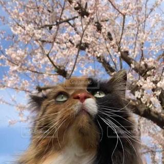 桜を見上げる猫の写真・画像素材[3037174]