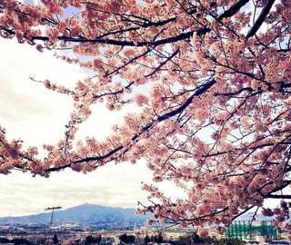 空,花,春,山々,桜の花,桜の木,桜満開,ブロッサム
