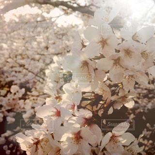 花,春,暖かい,桜の花,さくら,桜満開,ブロッサム