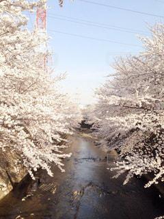 自然,春,桜,屋外,散歩,川,桜並木,日中,桜満開
