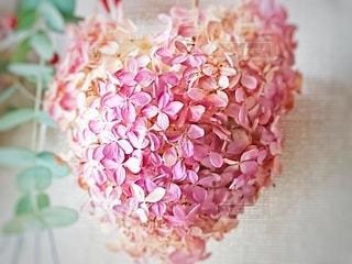 ピンクのアナベルの写真・画像素材[2813236]