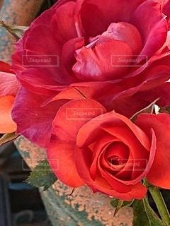 大好きな青い植木鉢と薔薇の写真・画像素材[3029438]