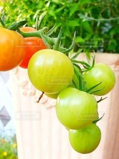 庭のプチトマトの写真・画像素材[3029690]