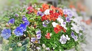 庭の花のクローズアップの写真・画像素材[3030014]