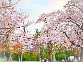風景,空,公園,花,春,屋外,ピンク,景色,鮮やか,樹木,お花見,提灯,パステル,ちょうちん,草木,桜の花,日中,さくら,ブルーム,ブロッサム
