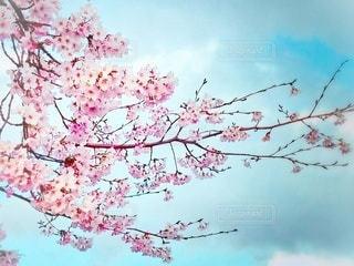 風景,空,花,春,屋外,景色,樹木,日本,桜の花,日中,さくら,ブロッサム