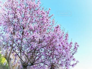 こぶしの花の写真・画像素材[4315412]