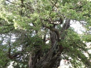 御神木ですの写真・画像素材[4461367]