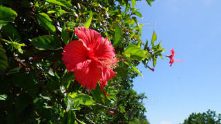 木からぶら下がっている赤い花の写真・画像素材[896900]