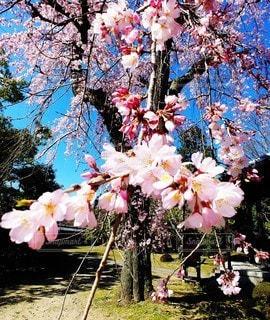 春,桜,青空