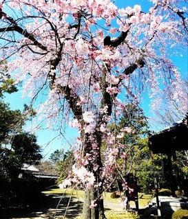 空,桜の花,さくら